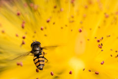 Primer de una abeja sobre una flor amarilla Imágenes de archivo libres de regalías