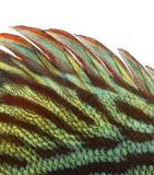Primer de una aleta dorsal de los discos azules del snakeskin Imagenes de archivo