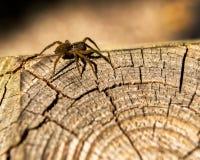 Primer de una araña marrón que se arrastra en la madera de construcción fotos de archivo