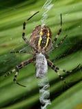 Primer de una araña rayada amarilla de la avispa en su red de la araña foto de archivo
