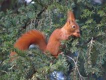 Primer de una ardilla linda en un árbol imagenes de archivo