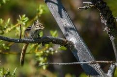 Primer de una ardilla listada que se sienta en una rama de árbol con un fondo borroso natural verde suave Parque nacional de Veda Imágenes de archivo libres de regalías