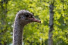 Primer de una avestruz que parece derecha con un fondo del bosque Fotos de archivo