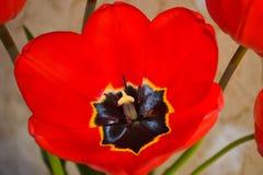 Primer de una base roja hermosa de la flor del tulipán Tulipán floreciente floreciente Pistilo detallado, estambres, pétalos prim Fotografía de archivo libre de regalías