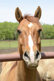Primer de una cabeza de caballo Fotografía de archivo