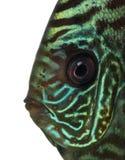 Primer de una cabeza de los discos azules del snakeskin Foto de archivo