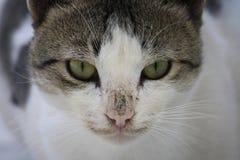 Primer de una cabeza del ` s del gato con los ojos verdes Imagen de archivo