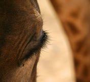 Primer de una cabeza y de un ojo del ` s de la jirafa Fotos de archivo