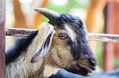 Primer de una cabra en un parque zoológico Fotos de archivo libres de regalías