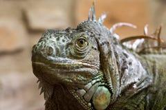 Primer de una cara 4 del reptil de la iguana Imagenes de archivo
