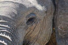 Primer de una cara del ` s del elefante Fotografía de archivo
