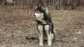 Primer de una cara del ` s del perro - un husky siberiano con los ojos azules que miran directamente en la cámara almacen de video