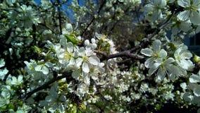 Primer de una cereza floreciente Flores blancas contra las hojas verdes, ramas marrones imagen de archivo