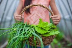 Primer de una cesta de verdes en las manos de la mujer Imagen de archivo