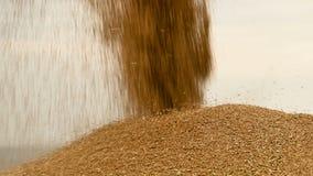 Primer de una corriente constante del grano del trigo que despierta en un montón al aire libre grande Producción del pan y extrac metrajes