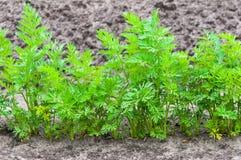 Primer de una fila de las plantas de la zanahoria Fotos de archivo libres de regalías