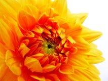 Primer de una flor amarilla brillante de la dalia Fotos de archivo