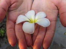Primer de una flor blanca y amarilla del frangipani del plumeria en las manos Fotos de archivo libres de regalías