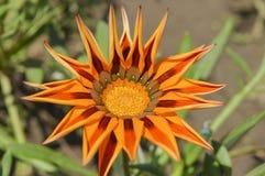 Primer de una flor de la margarita anaranjada fotos de archivo