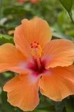Primer de una flor de la naranja del sinensis de Rosa del hibisco foto de archivo libre de regalías