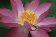 Primer de una flor de loto floreciente Imagen de archivo libre de regalías