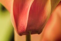 Primer de una flor del ciclamen Fotografía de archivo