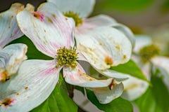 Primer de una flor del cornejo floreciente fotografía de archivo