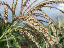 Primer de una flor del maíz Imagen de archivo