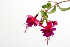 Primer de una flor fucsia rosada hermosa aislada contra el fondo blanco imagen de archivo