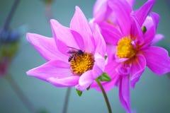 Primer de una flor de la dalia Imagen de archivo
