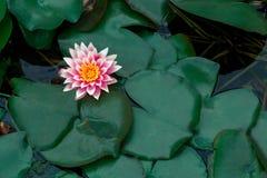 Primer de una flor de loto hermosa Foto de archivo