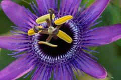 Primer de una flor púrpura de la pasión imagen de archivo libre de regalías