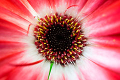 Primer de una flor pequeña, de color rojo oscuro desde arriba fotografía de archivo