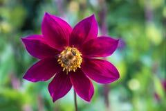 Primer de una flor roja japonesa con una abeja Fotos de archivo