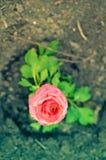 Primer de una flor rosada del ranúnculo fotos de archivo libres de regalías