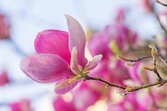 Primer de una flor rosada hermosa de la magnolia Fotos de archivo libres de regalías
