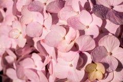 Primer de una flor rosada de la hortensia imagen de archivo libre de regalías