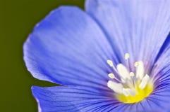 Primer de una flor y de un estambre azules Imágenes de archivo libres de regalías