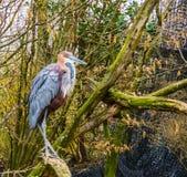 Primer de una garza de Goliat que se sienta en una rama de árbol, una especie más grande de la garza de los mundos, un pájaro de  fotos de archivo libres de regalías