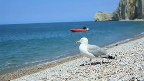 Primer de una gaviota prudente en una playa de la tabla en Etretat, Normandía, Francia almacen de metraje de vídeo