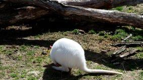 Primer de una hembra blanca del albino del ualabi de cuello rojo, canguro almacen de metraje de vídeo