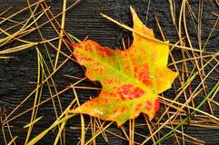 Primer de una hoja de arce colorida Imagen de archivo libre de regalías