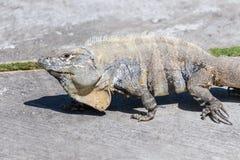 Primer de una iguana Espinoso-atada salvaje, de la iguana negra, o del ctenosaur negro Maya de Riviera, Cancun, México fotografía de archivo libre de regalías
