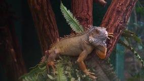 Primer de una iguana verde que da vuelta a su cabeza y que se pega la lengua hacia fuera, animal doméstico tropical popular metrajes
