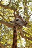 Primer de una jirafa Fotografía de archivo