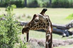 Primer de una jirafa de mirada torpe con su lengua que cuelga hacia fuera Fotografía de archivo