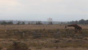 Primer de una jirafa que come las hojas de un árbol metrajes
