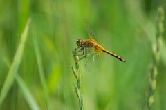 Primer de una libélula, fondo verde borroso del prado, Sunny Summer Day brillante fotografía de archivo