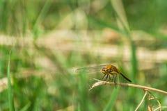 Primer de una libélula, fondo verde borroso del prado, Sunny Summer Day brillante fotos de archivo libres de regalías