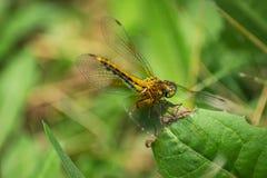 Primer de una libélula, fondo verde borroso del prado, Sunny Summer Day brillante foto de archivo